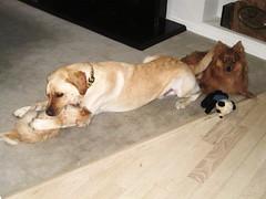 7915340538 b17f7491f4 m Hercules, Photos of my fun Yellow Labrador