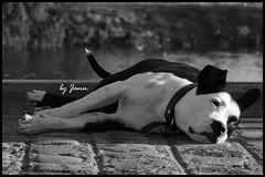 Roma... (https://www.facebook.com/JanuProducciones) Tags: dog break quiet guard perro company terrier lazy bitch attention monitoring attentive guardia descanso perra tranquilidad atencion pereza vigilancia compania janu atento doglying amigodelhombre friendofman perroechado byjanu