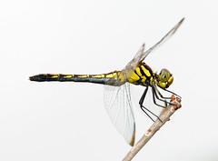Sympetrum infuscatum - ノシメトンボ - Noshimetombo (Yagosan) Tags: macro nature japan closeup insect nikon hokkaido dragonfly odonata d300 nikkor105mmmacro ノシメトンボ sympetruminfuscatum nikonsb900speedlight nikonr1closeupspeedlight noshimetombo