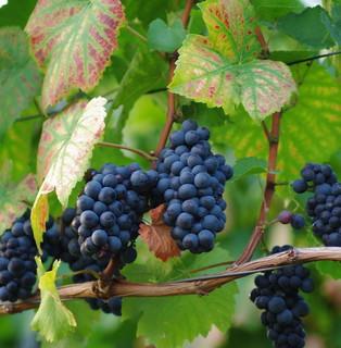 grapevine (looks good on black) explore #374