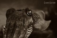 """Sepia (Claudio """"Grincius"""") Tags: color colour valencia sepia arte arts acquarium acquario città ciutat seppia oceanografico scienze oceanographic ciencies"""