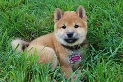 IMG_7968 (natl1046) Tags: dog cute green puppy outside adorable fluffy sasha pup shibainu shiba