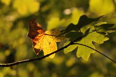 Signs Of Autumn (gripspix (OFF)) Tags: autumn leaf herbst natur blatt 20120910