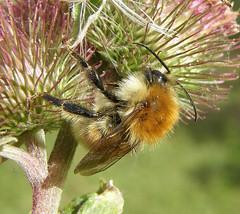 Bombus humilis male 2 - Rye Harbour NR, Sussex 2010b (Steven Falk) Tags: bee steven humilis falk bombus carder apidae brownbanded