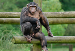 Your Names Not Down! Your Not Coming In!!.. (Wire_cat) Tags: animal zoo monkey chimp chimpanzee primate whipsnade whipsnadezoo nikond40 wirecat nikon70300mmafsvr highqualityanimals