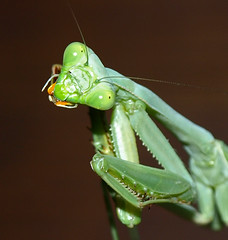 Tilted Head Mantis (jhhwild) Tags: bug mantis insect wonder head praying tilted