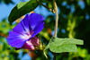 Ipomoea - Prunkwinde (Karabelso) Tags: blue flower macro garden blossom sony blau blume makro blüte garten splendour hoist prunkwinde winde schlinger flowersarebeautiful overtheexcellence excellentsflowers mimamorflowers flickrflorescloseupmacros