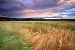 A Windy Evening in the Field. (Gordie Broon.) Tags: trees motion green nature field clouds landscape geotagged photography gold evening scotland scenery wheat scenic windy escocia crop inverness nairn cawdor schottland swaying blustery ecosse scottishhighlands nairnshire croy piperhill canoneos7d bestcapturesaoi gordiebroon elitegalleryaoi