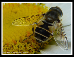 365 Day Photo Project Day 869: Behind You! (Riquochet) Tags: flowers wildlife insects daisy hoverfly syrphidae hoverflies aposematic eristalispertinax