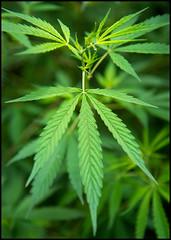 Growing Wild (Waldemar*) Tags: india plant mountains nikon asia himalaya marijuana mota manali cannabis himalayas hemp hashish charas himachalpradesh ganja bhang cannabissativa cannabisindica afs24120mmf4gvr d800e