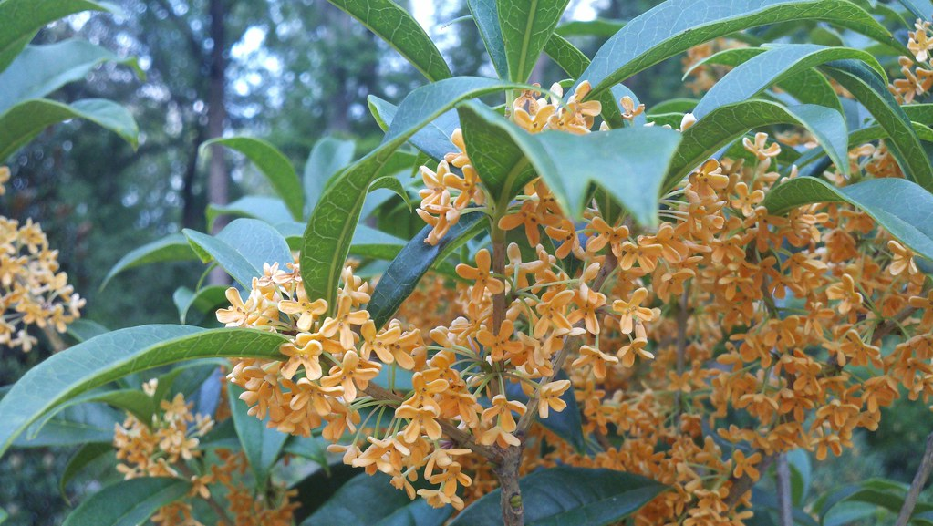 The world 39 s best photos of aurantiacus flickr hive mind for Osmanthus fragrans aurantiacus
