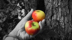 DOUBLE TEMPTATION (A haiku) (Siri Chandra) Tags: eve red apple fruits yellow fruit photoshop garden hands poetry poem hand haiku apples poesia photoshopping crabapple selectivecolorization selectivecolourization astory selectivecolours selectivecolors poetryandpicturesinternational littleredapples poemspixelsprose everygardenhasitssnake