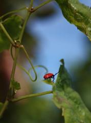 IMG_41 (bulbocode909) Tags: rouge vert bleu feuilles insectes mfcc