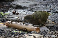kea eating (pukunui81) Tags: newzealand bird canon zoo parrot auckland kea aucklandzoo 550d t2i canoneos550d