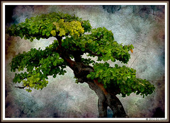 Botanical Gardens - The Multicoloured Bonsai (edispicsoriginal) Tags: quebec montreal bonsai colourful botanicalgardens jardinbotaniquedemontral montrealbotanicalgardens