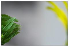 Yellow & green 4 (leo.roos) Tags: flowers green yellow minolta buds nex enlargerlens darosa leoroos nex5n erokkor5045