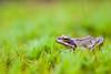 _MG_0458 (Den Boma Files) Tags: fauna dieren kikker amfibieen stropersbos