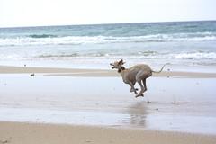 dont stop (Jorge Lois) Tags: sea sky espaa dog greyhound sun sol beach animal mar photo spain agua shoot playa run perro galicia cielo cannon galgo