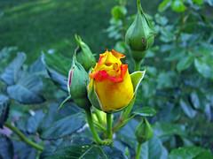 Rosenknospen (Jonny__B_Kirchhain) Tags: plant flower color colour berlin planta fleur plante kreuzberg germany deutsch