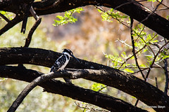 Pied Kingfisher (hannes.steyn) Tags: africa nature birds animals fauna canon southafrica wildlife kingfisher reserves pilanesberg birdlife piedkingfisher cerylerudis northwestprovince 550d kwamaritane bontvisvanger hannessteyn canonefs18200mmf3556is canon550d eosrebelt2i