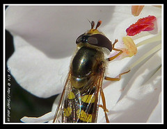 365 Day Photo Project Day 874: Picking Pollen (Riquochet) Tags: flowers wildlife insects hoverfly syrphidae hoverflies blackandyellow aposematic eupeodesluniger hoverwasp
