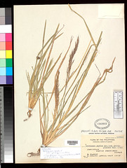 Chrysopogon nemoralis (Andropogon gryllus v. philippinensis, IT) US604221 (filibot.web) Tags: plants asia philippines botany gryllus specimens gramineae andropogon nemoralis chrysopogon filibot
