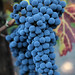 2012 Dilworth Cabernet Harvest 0018