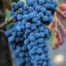 2012 Dilworth Cabernet Harvest 0018