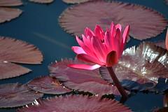 Pink (KaDeWeGirl) Tags: newyorkcity pink garden botanical waterlily bronx nybg monetsgarden