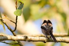 La boudeuse (m-idre31 - 5 millions de vues merci) Tags: bird 31 oiseau longtailedtit aegithaloscaudatus plaisancedutouch mésangeàlonguequeue passériformes aegithalidés