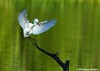 Snowy Egret Landing - Bayou Courtableau, Louisiana (Image Hunter 1) Tags: sunlight reflection tree nature water birds flying wings louisiana kayak branch flight landing bayou kayaking swamp marsh ripples wingspan snowyegret wingspread canoneos7d birdslouisiana bayoucourtableau