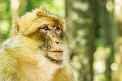 Magot (- Olivier B. - Entre terres et ciel -) Tags: canon monkey des 7d vienne singe singes magot valle 100400 romagne