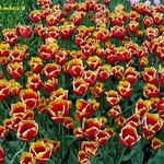 Dutch Tulips, Keukenhof Gardens, Holland - 3964 thumbnail