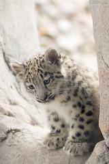 Li'l cat (Cloudtail the Snow Leopard) Tags: zoo karlsruhe schneeleopard snowleopard irbis panthera uncia cat katze bigcat groskatze raubkatze jungtier kätzchen wurf kitten litter cub cloudtailthesnowleopard
