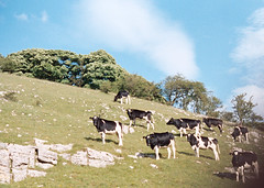 idyll (Timoleon Vieta II) Tags: old portrait england sky colour landscape cows natural country harmony idyll timoleon
