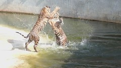 Tiger Fight (Fraser Mummery) Tags: reflection water animals thailand temple zoo fight shadows wildlife explore tigers explored