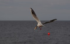 A flight of a seagull (horschte68) Tags: 20160712 180348 aflightofaseagull seagull möwe ostsee balticsea k50 pentax inselusedom isleusedom usedom sommer summer holiday urlaub ferien vacation strand beach deutschland germany feed animal bird composition perspektive perspective pointofview view sky toast flight koserow availablelight juli july inspiredbylove