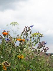 ckuchem-3092 (christine_kuchem) Tags: ackerrand bienenfreund bienenweide blumen blhstreifen feld felder klee landwirtschaft schmetterlingsbltler vogelschutz wiesenblume