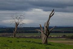 ghost duets (keith midson) Tags: trees deadtrees deadtree tasmania rural farming agriculture