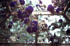 film (La fille renne) Tags: film analog 35mm lafillerenne canonae1program 50mmf18 lomography lomochrome lomochrometurquoise lomochrometurquoisexr100400 turquoise nature roses flowers bokeh