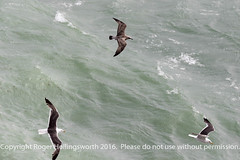 Black Backed Gulls (doublejeopardy) Tags: bird mist thelizard gale seagull cornwall places sea lizard england unitedkingdom gb