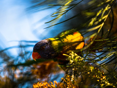 Rainbow Lorikeet on our Grevillea tree (BulbulAlmazi) Tags: grevillea tree rainbow lorikeet australian native bird