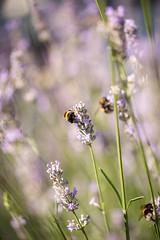 Bees at work (AlistairBeavis) Tags: alistairbeavis alistairbeaviscom bee lavender macro nature hcs