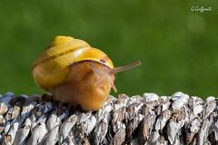 Chioccola (JackX91) Tags: macro natura verde green erba insetti animali piccolo mondo piante lumaca snail