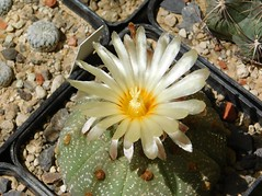 Astrophytum asterias hybrid (Resenter89) Tags: cactus piante grasse succulente cacti kakteen cactaceae astrophytum asterias flower yellow red mineral soil mix desert flowerscolors