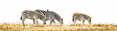 Three Plus One (PamLink) Tags: zebra family bird grazing hwy1 williamrandolphhearst pano grass centralcoast