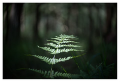 Fern (leo.roos) Tags: fern varen a7s herperduin brabant noordbrabant lensbabytwistoptic6025 lensbabycontrolfreak lensbabys lensbabies darosa leoroos sonyflickraward
