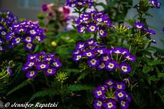Glandularia  hybrida (Bernsteindrache7) Tags: summer sony alpha 100 spring flora fauna flower bloom blossom blume blue landscape outdoor garden