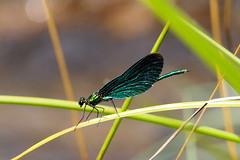 sávos szitakötő / banded demoiselle (debreczeniemoke) Tags: nyár summer erdő forest patak creek tatárszoros cheiletătarului gutinhegység munţiigutin gutinmountains rovar insect insecta szitakötő damselfly sávosszitakötő hím bandeddemoiselle male caloptéryxéclatant caloptéryxsplendide gebänderteprachtlibelle libellula ţînţardeapă libelulă calopteryxsplendens agrionsplendens színesszárnyúszitakötők calopterygidae olympusem5