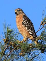 Red-shouldered Hawk 04-20160823 (Kenneth Cole Schneider) Tags: florida miramar westbrowardwca